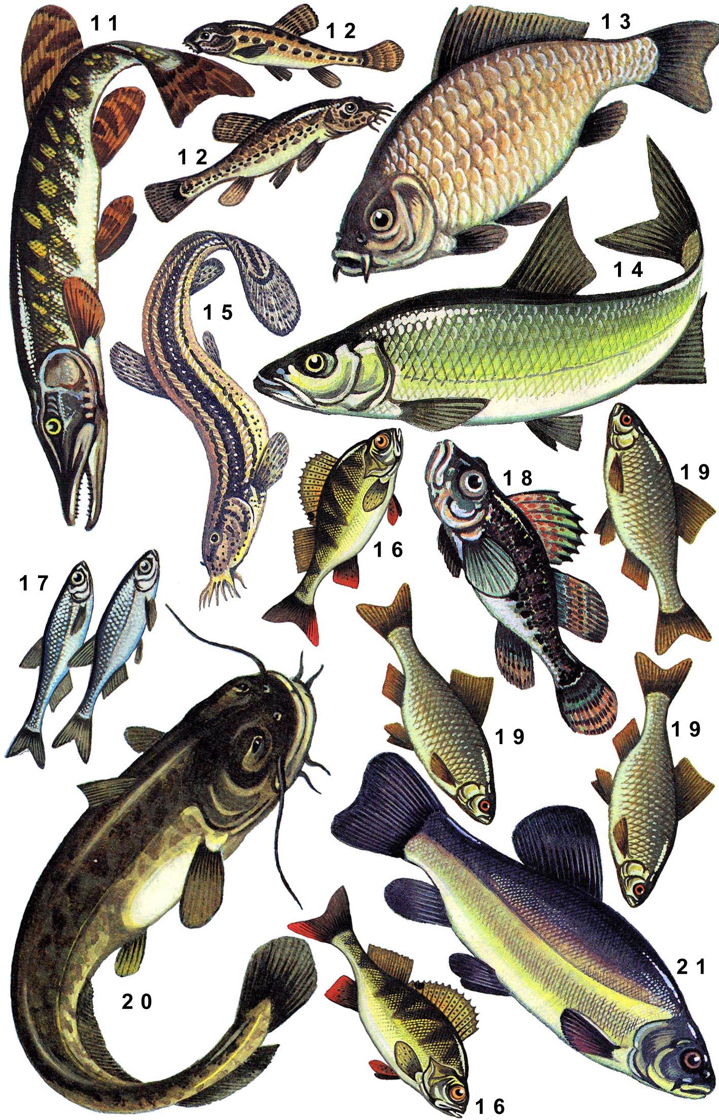 Рыбы карась картинки